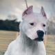 A Dogo Argentino puppy