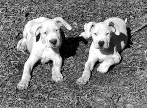 Dogo puppies