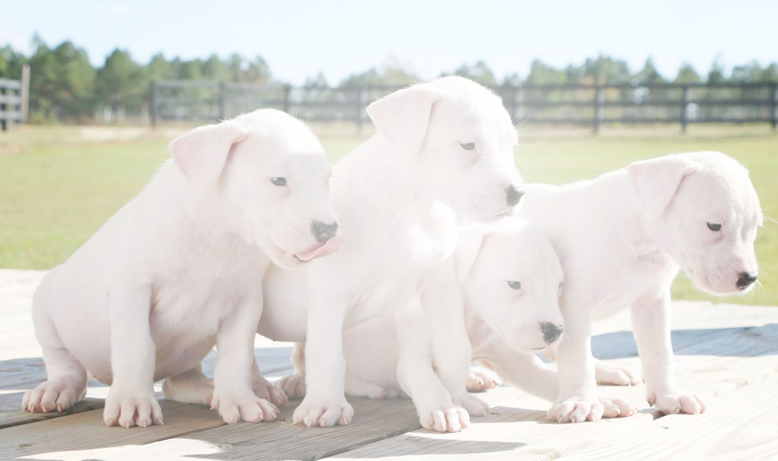 Slider: Dogo Argentino Puppies - White