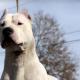 White dog staring intensely