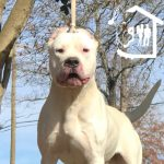 White male Dogo argentino looking at the camera