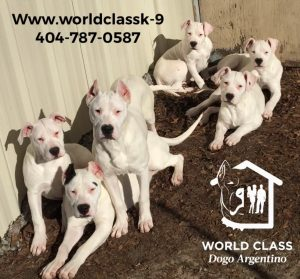 Dogo puppies at World Class breeding and training academy
