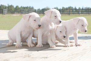 argentine mastiff puppies
