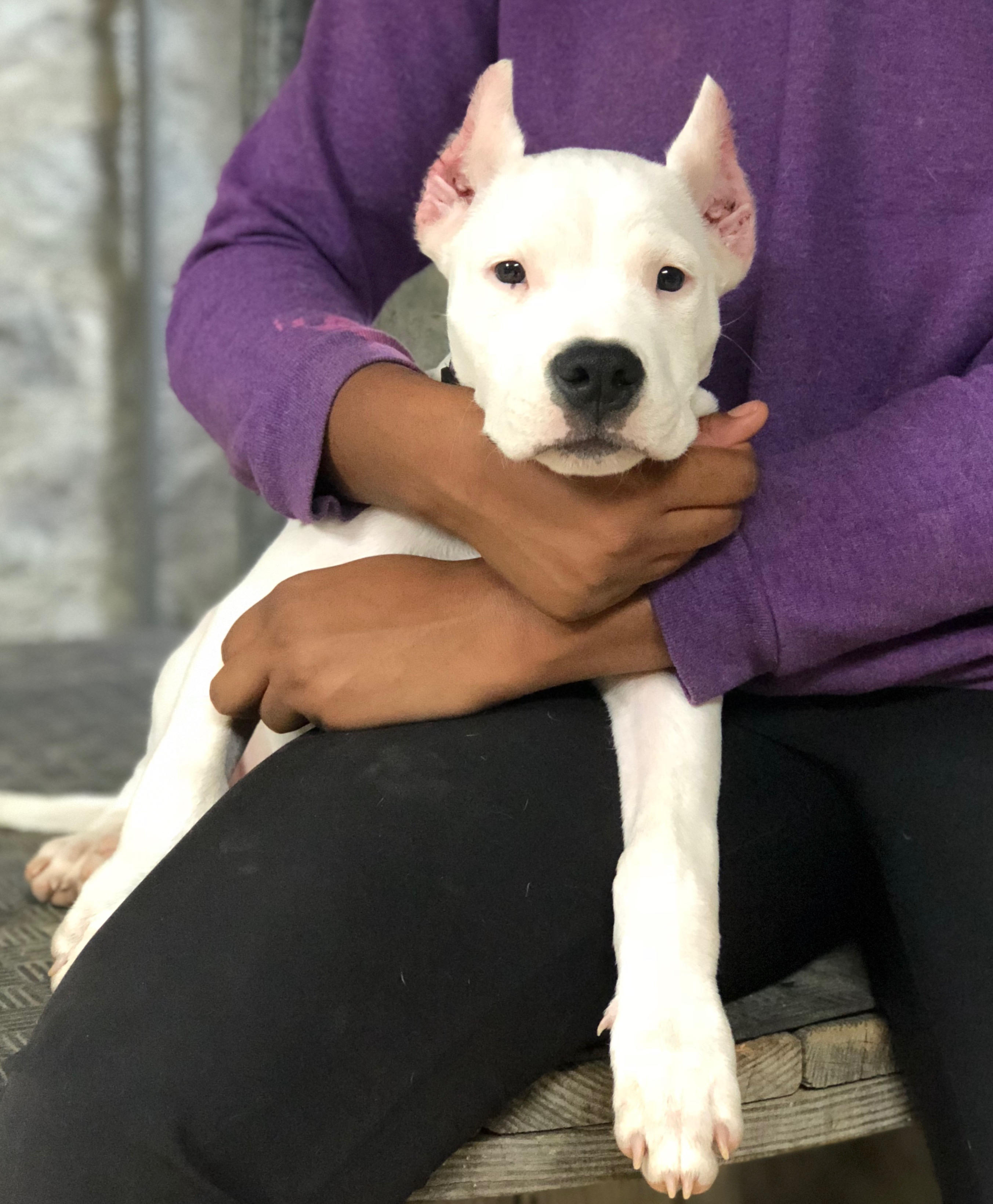 Dogo Argentino Puppies For Sale - World Class Dogo Argentino