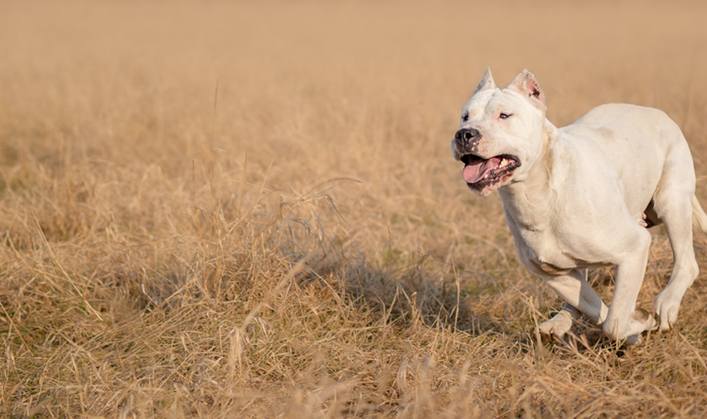 Slider: Dogo Argentino Running at full speed