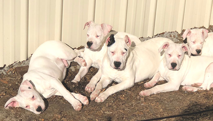 Five Dogo Argentino puppies on the ground
