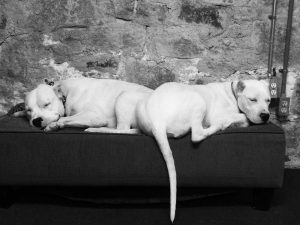 Two white dogs lying down