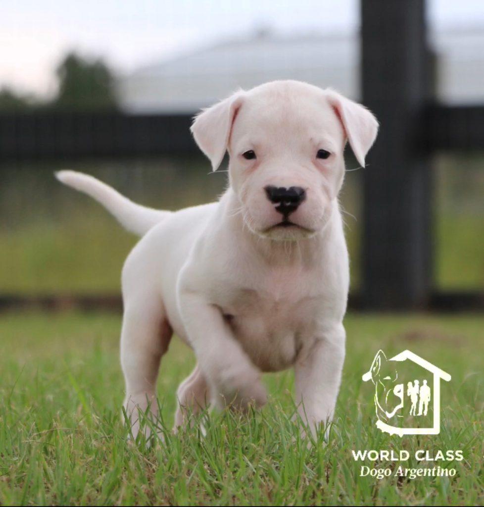 White puppy walking in grass