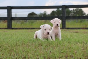 Two white puppies sitting in grass
