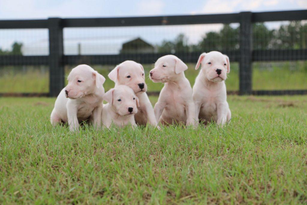 white puppies sitting in grass