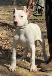 White puppy with cropped ears standing