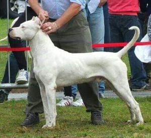 Dog posing at a dog show