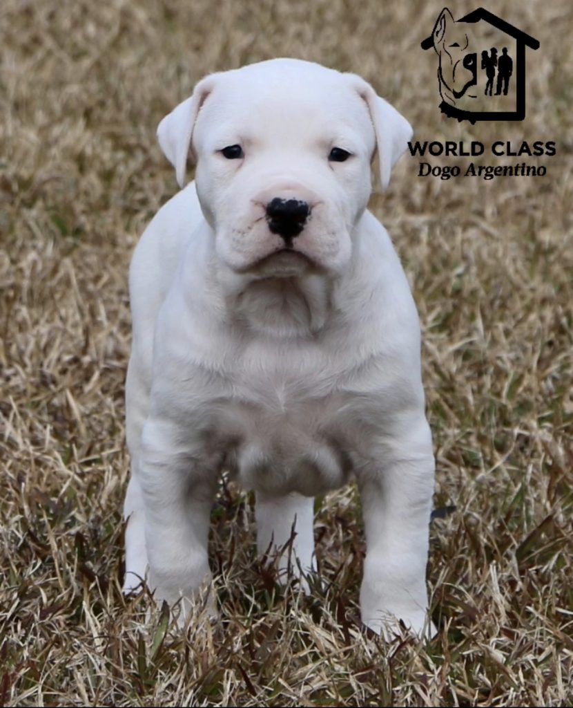 White puppy standing and looking at the camera