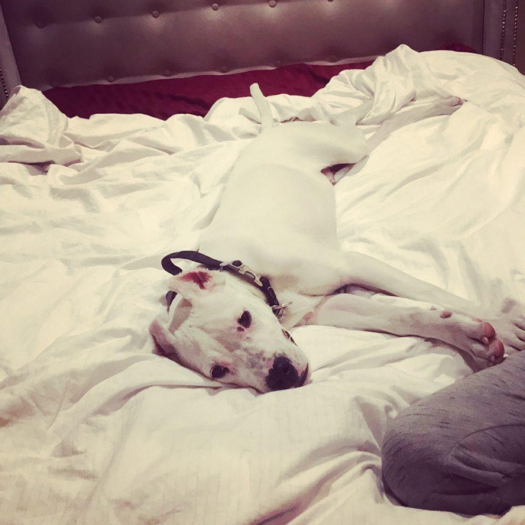 White puppy lyingin bed