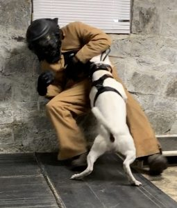 Dog attacking a bite suit