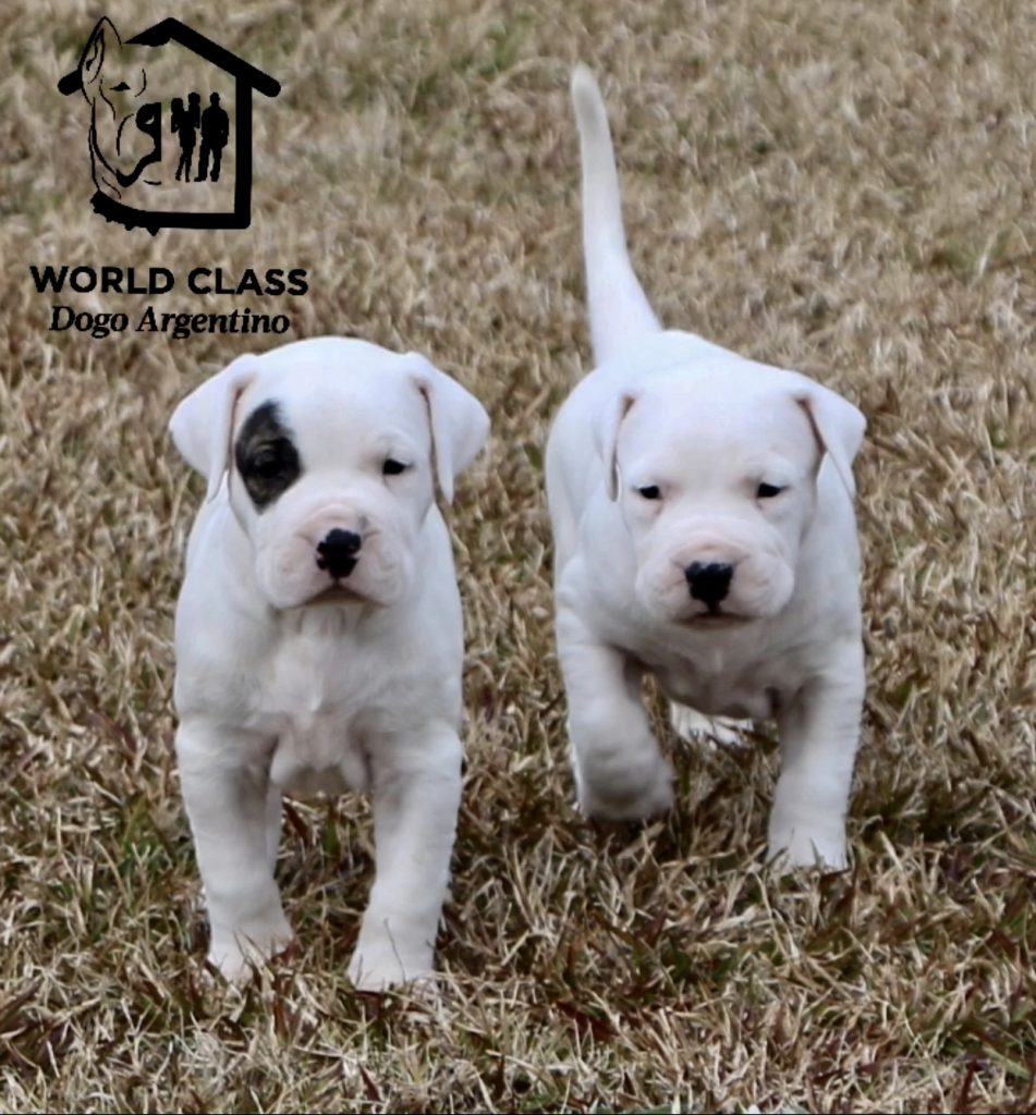 Two white puppies walking