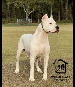 Dogo Breeder