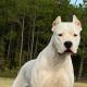 White dog staring