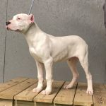 White dog standing with collar