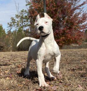 White puppy walking