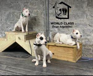3 white puppies