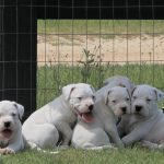 White puppies lying together
