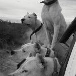 Four white dogs in a truck