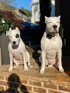 Two white dogs sitting