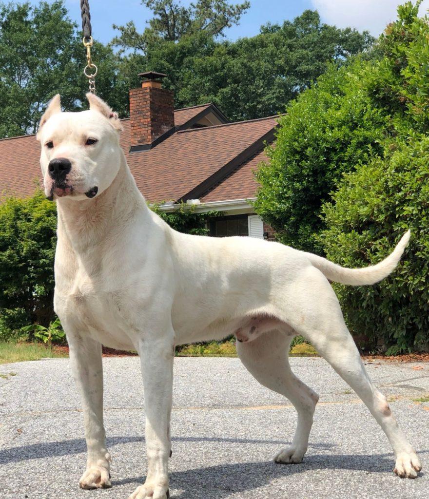 White dog posing